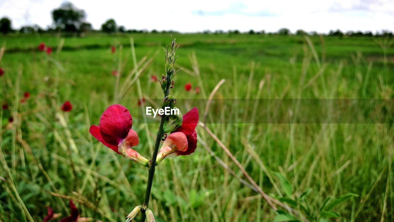 plant, field, growth, land, beauty in nature, flowering plant, landscape, focus on foreground, nature, flower, freshness, green color, environment, tranquility, red, rural scene, fragility, close-up, vulnerability, day, no people, outdoors, flower head