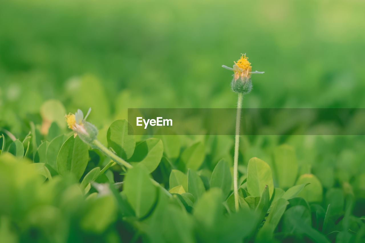 plant, flower, flowering plant, growth, fragility, beauty in nature, vulnerability, freshness, green color, selective focus, nature, close-up, petal, flower head, field, day, leaf, land, plant part, inflorescence, no people, outdoors