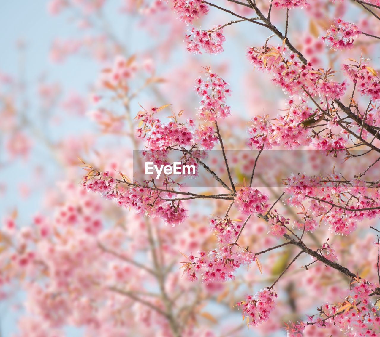 flower, pink color, beauty in nature, blossom, nature, growth, tree, fragility, cherry tree, springtime, freshness, branch, no people, day, pink, low angle view, outdoors, close-up