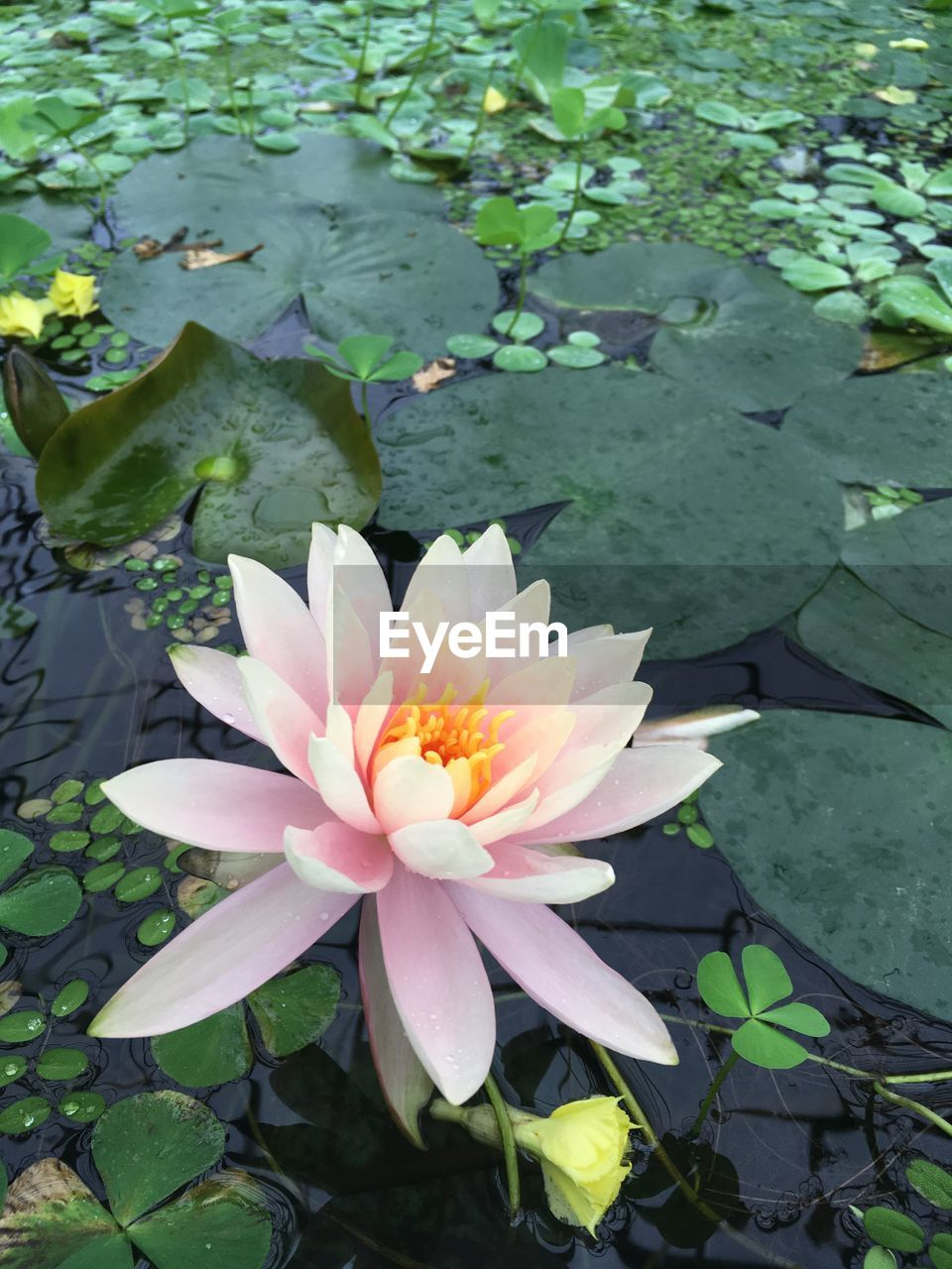 flower, flowering plant, plant, leaf, beauty in nature, plant part, growth, fragility, vulnerability, water lily, freshness, lake, petal, nature, inflorescence, flower head, water, high angle view, floating on water, pink color, lotus water lily, no people, outdoors, pollen, leaves