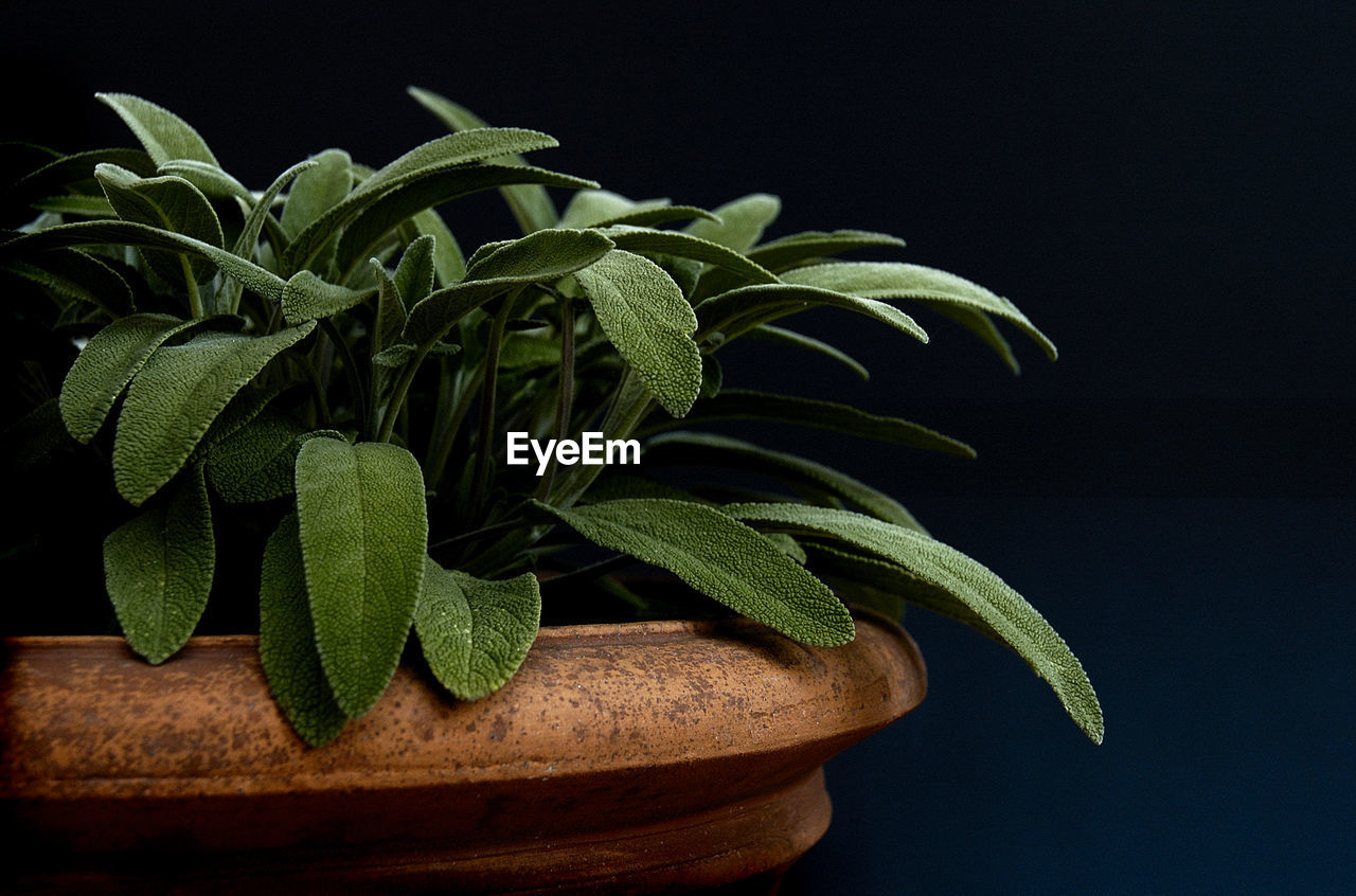 Close-Up Of Sage Potted Plant Against Black Background