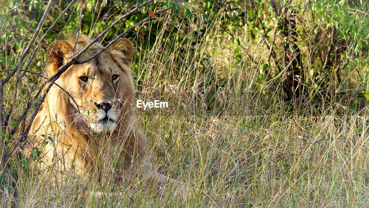 View of a lion in the wilderness