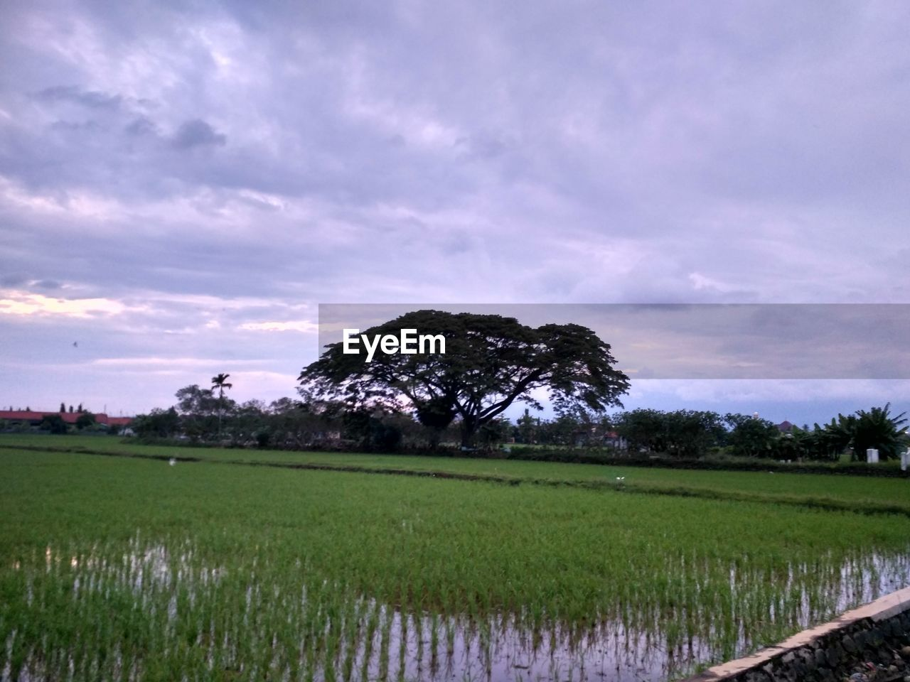 sky, landscape, plant, field, cloud - sky, tranquil scene, scenics - nature, land, beauty in nature, tranquility, environment, rural scene, agriculture, nature, growth, grass, green color, no people, farm, tree, outdoors, purple, plantation