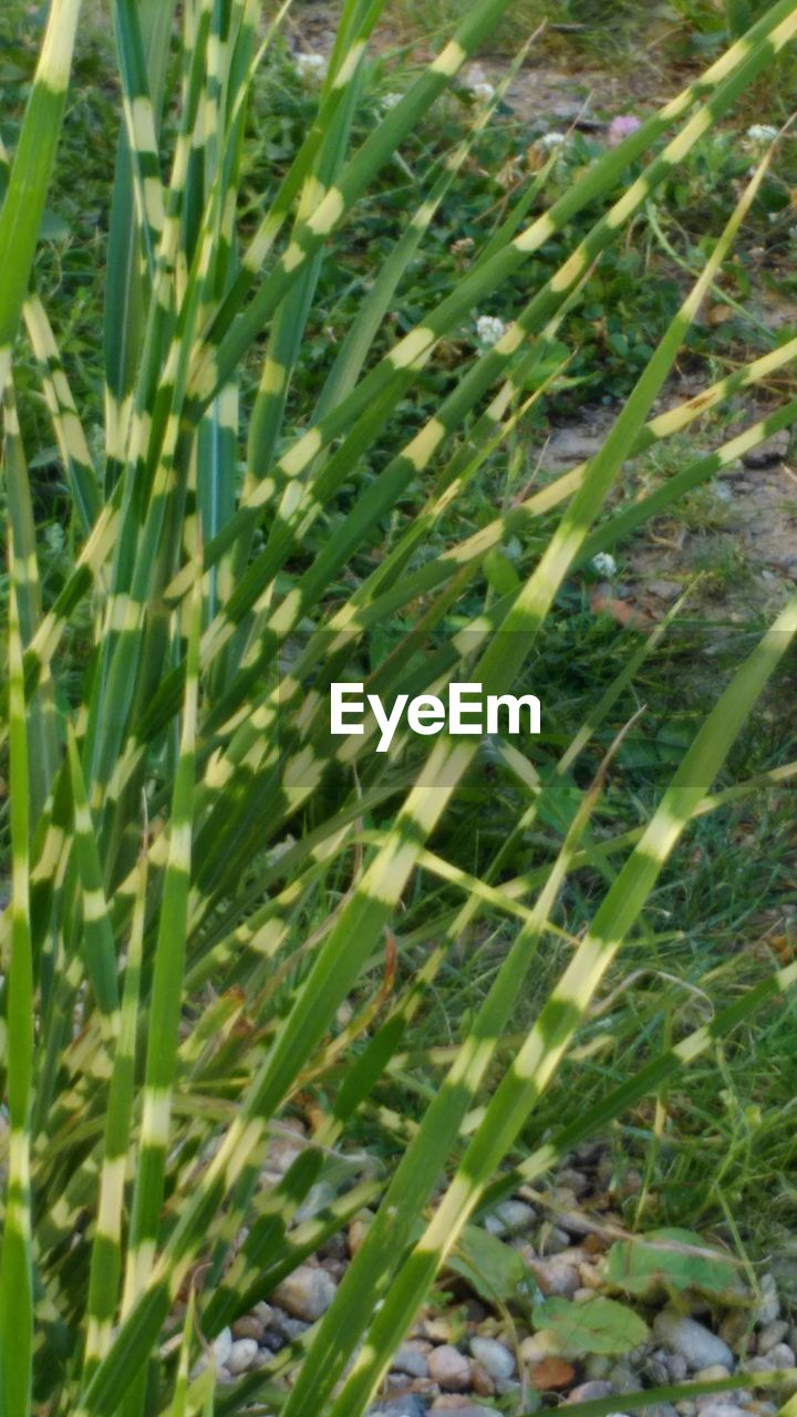 growth, grass, field, green color, nature, plant, day, outdoors, no people, tranquility, beauty in nature, close-up, freshness