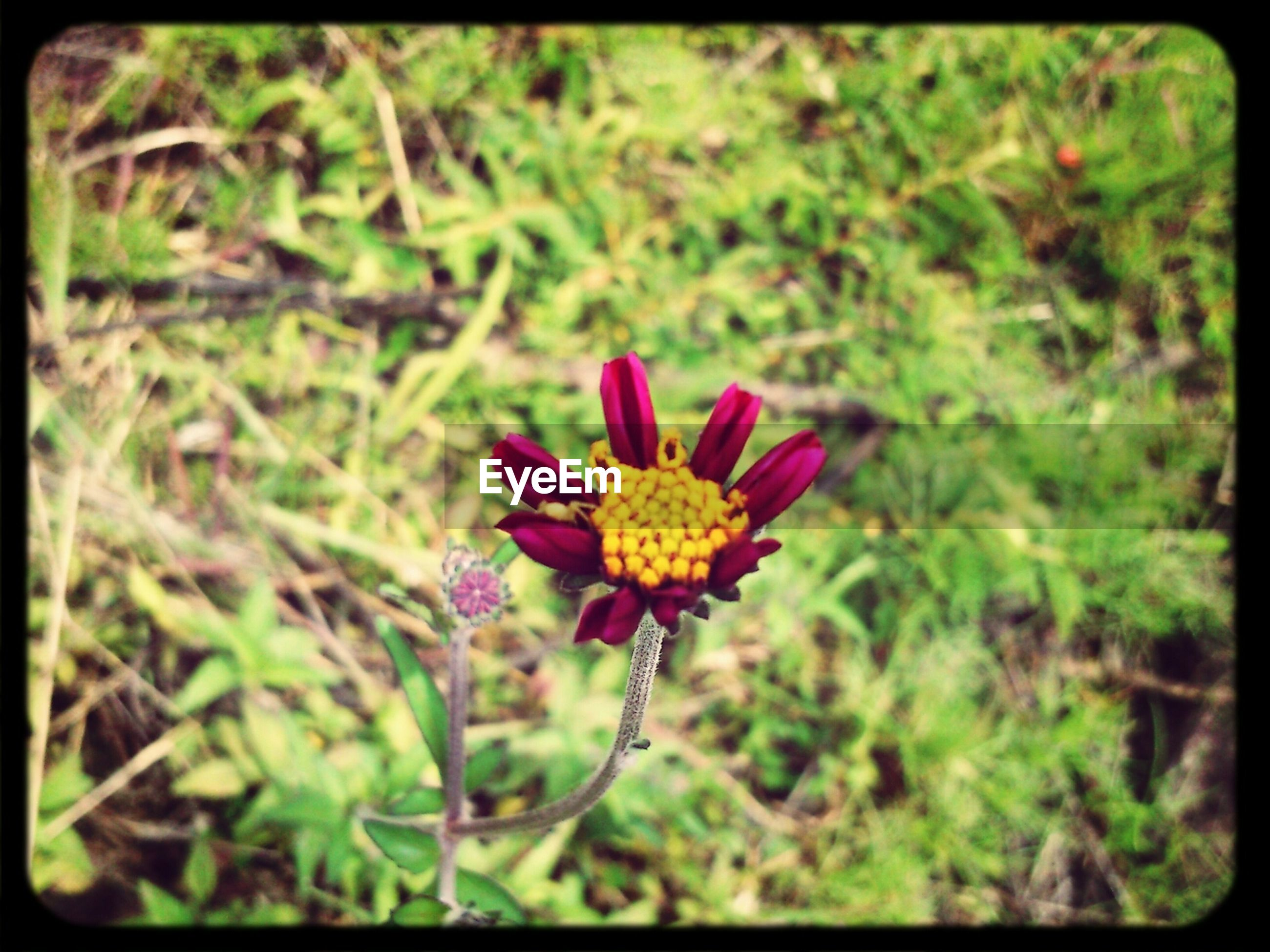 flower, transfer print, freshness, growth, fragility, petal, auto post production filter, flower head, beauty in nature, plant, blooming, nature, close-up, field, selective focus, focus on foreground, in bloom, high angle view, wildflower, day