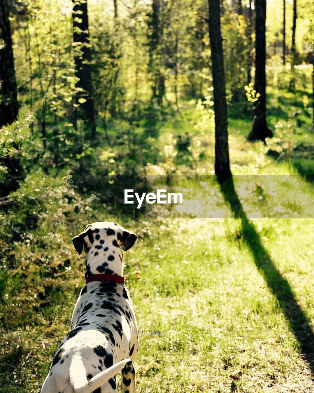 one animal, animal themes, animal, mammal, plant, domestic animals, dog, canine, tree, vertebrate, pets, land, domestic, dalmatian dog, forest, no people, day, nature, spotted, focus on foreground, outdoors, woodland, animal head