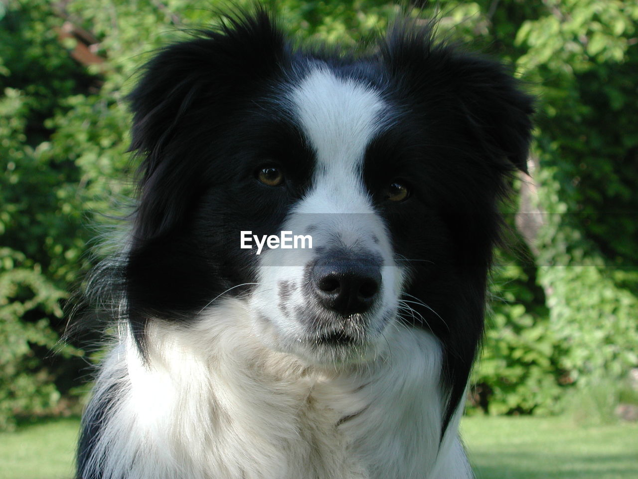 one animal, animal themes, mammal, domestic, pets, domestic animals, animal, dog, canine, vertebrate, focus on foreground, close-up, portrait, day, looking at camera, border collie, no people, animal body part, land, field, animal head, snout, whisker, animal nose