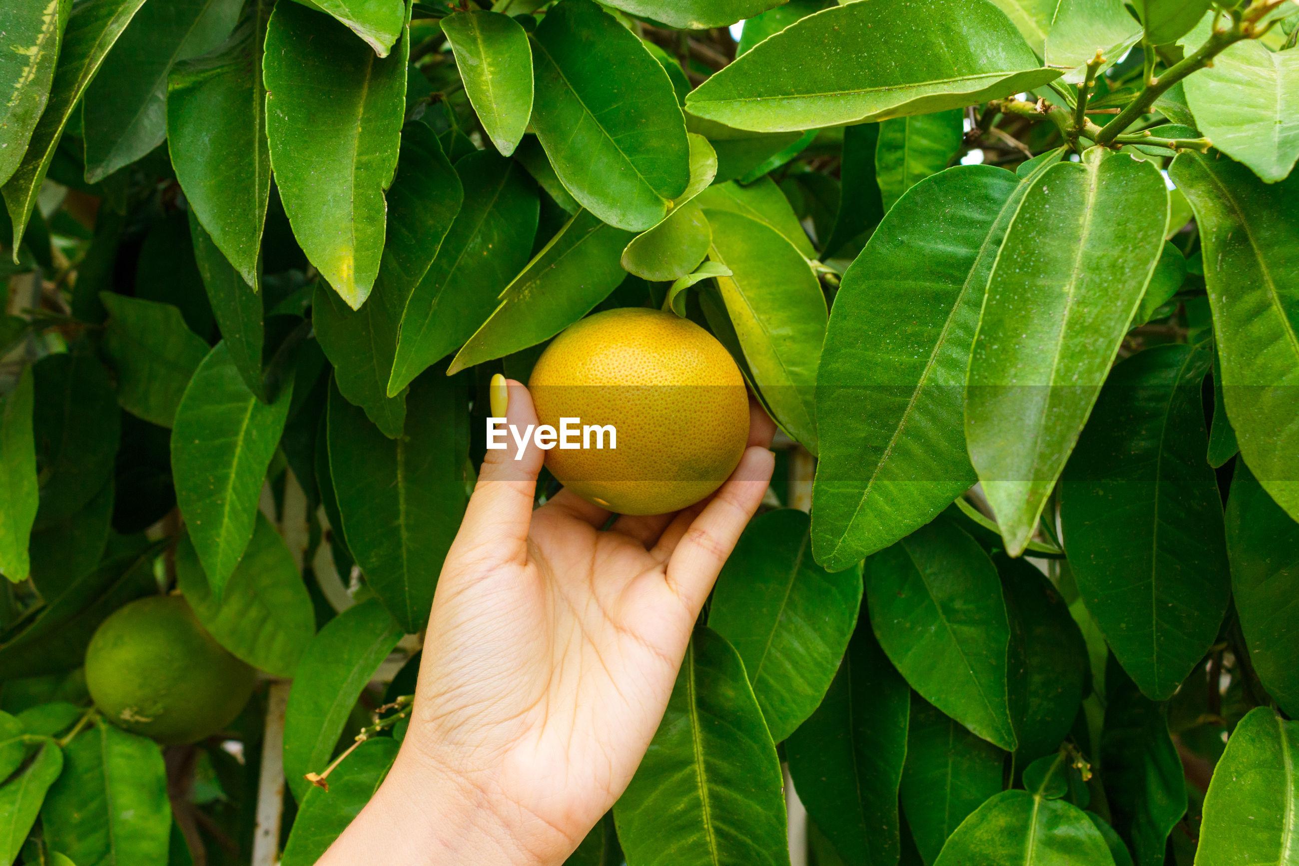 Cropped image of hand holding fruit on orange tree
