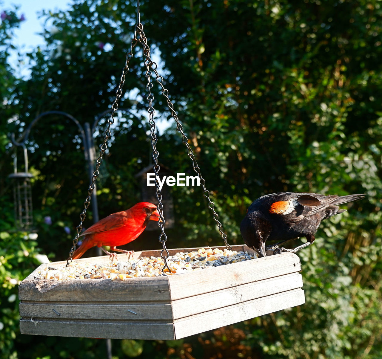 animal, animal wildlife, animals in the wild, bird, vertebrate, animal themes, perching, group of animals, nature, focus on foreground, tree, wood - material, day, two animals, no people, bird feeder, sunlight, outdoors, plant, red