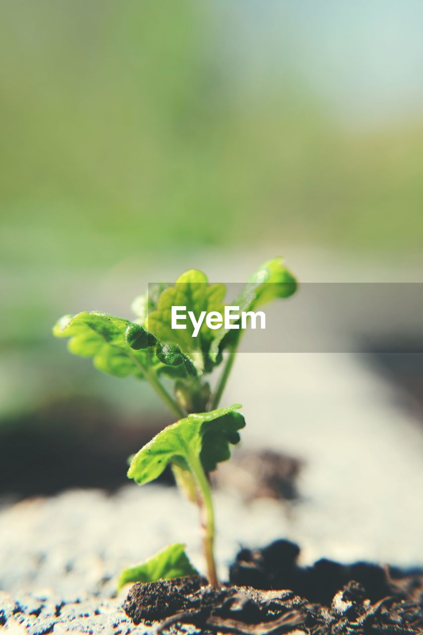 green color, growth, plant, leaf, plant part, nature, beginnings, focus on foreground, close-up, no people, beauty in nature, selective focus, day, land, new life, freshness, fragility, seedling, outdoors, vulnerability, gardening
