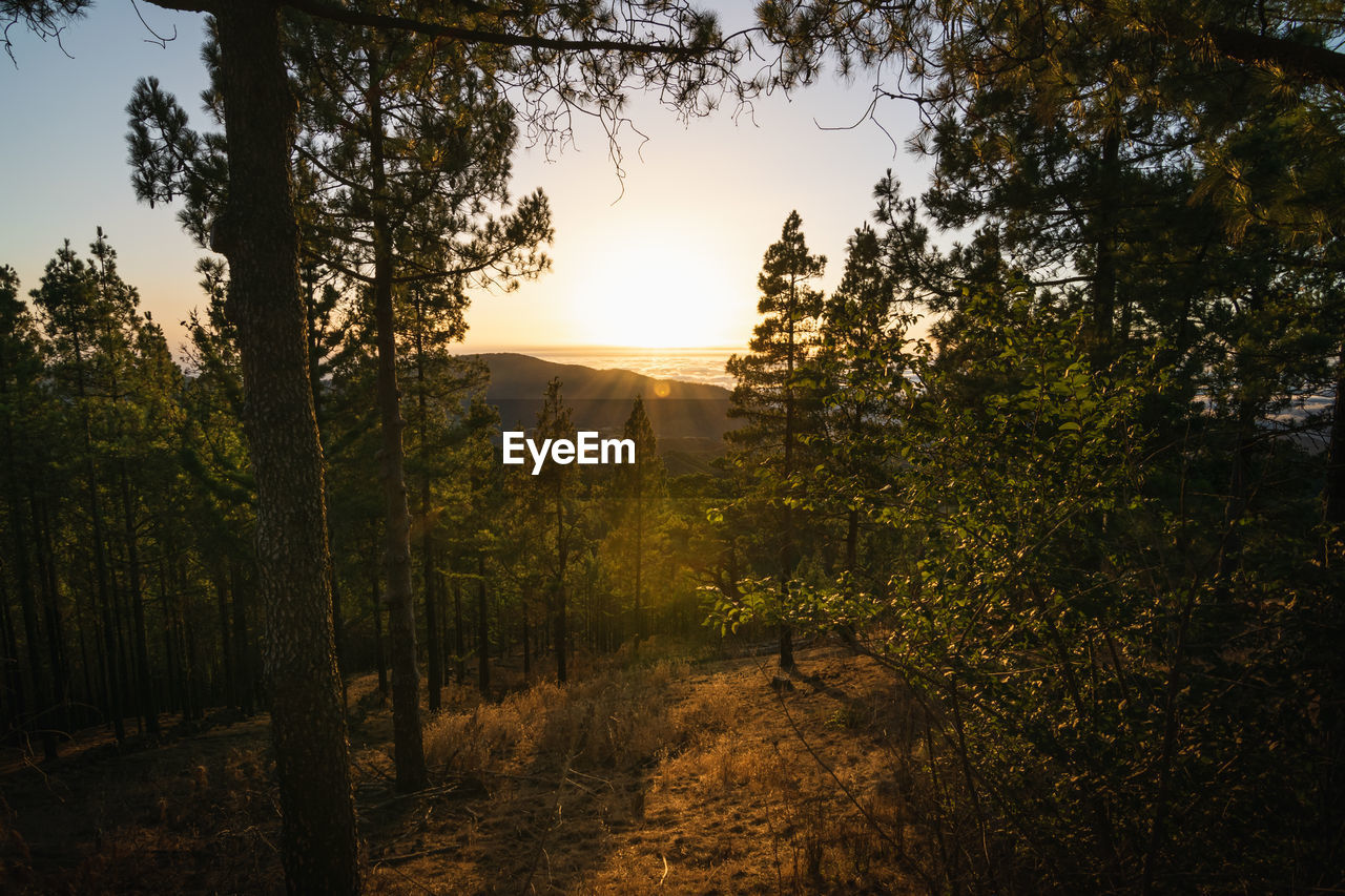Incredible sunset from within a pine forest
