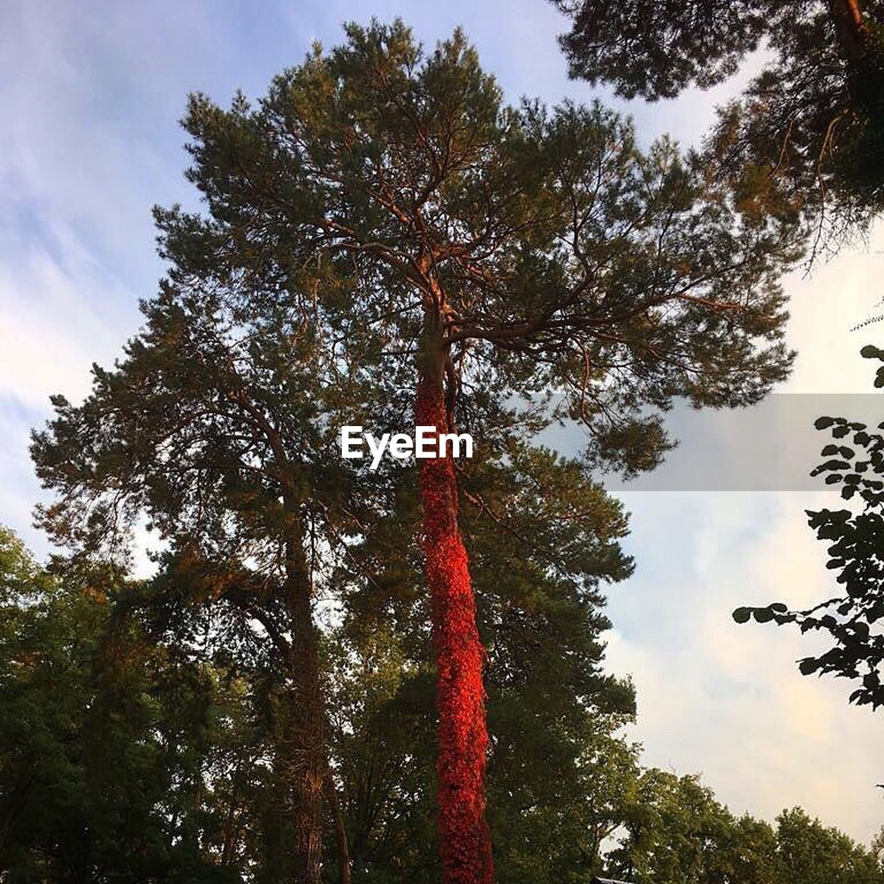 tree, low angle view, growth, outdoors, day, sky, tree trunk, nature, forest, no people, red, leaf, beauty in nature, branch, tree area