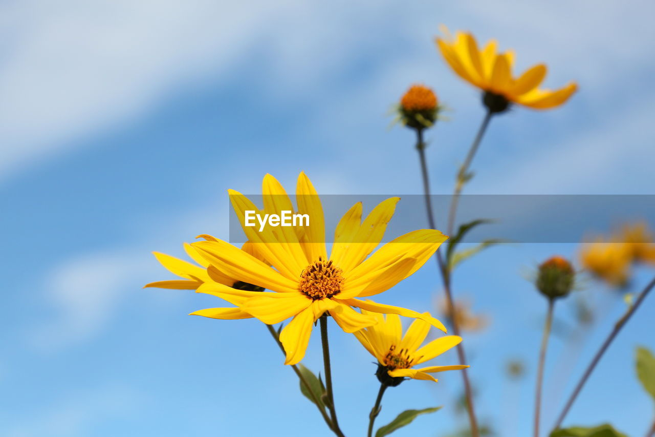 flowering plant, flower, fragility, vulnerability, freshness, plant, petal, yellow, beauty in nature, flower head, growth, inflorescence, close-up, sky, nature, focus on foreground, pollen, low angle view, day, no people, outdoors, sepal, gazania