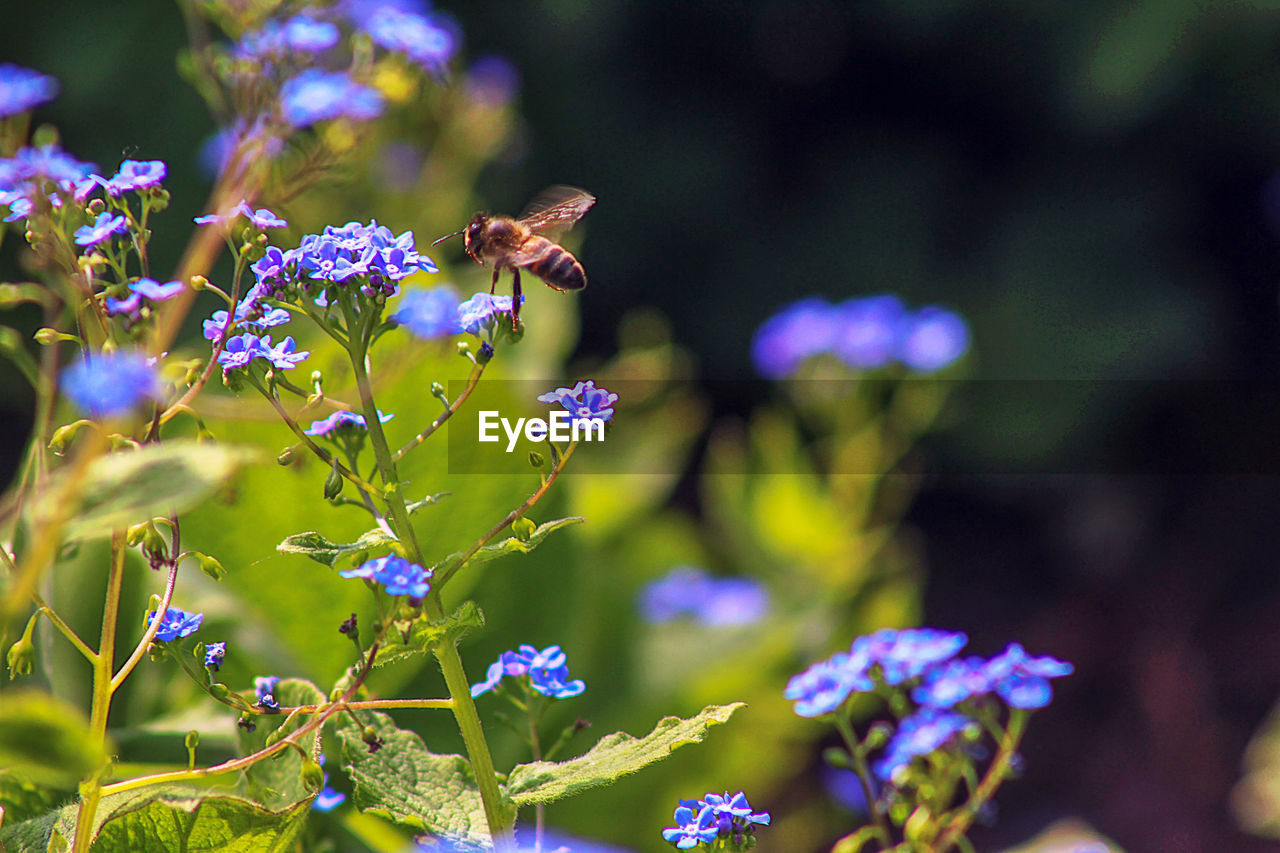 flowering plant, flower, invertebrate, insect, animal themes, animals in the wild, animal wildlife, one animal, animal, plant, vulnerability, growth, fragility, freshness, beauty in nature, bee, petal, flower head, close-up, flying, pollination, no people, purple, hovering, springtime