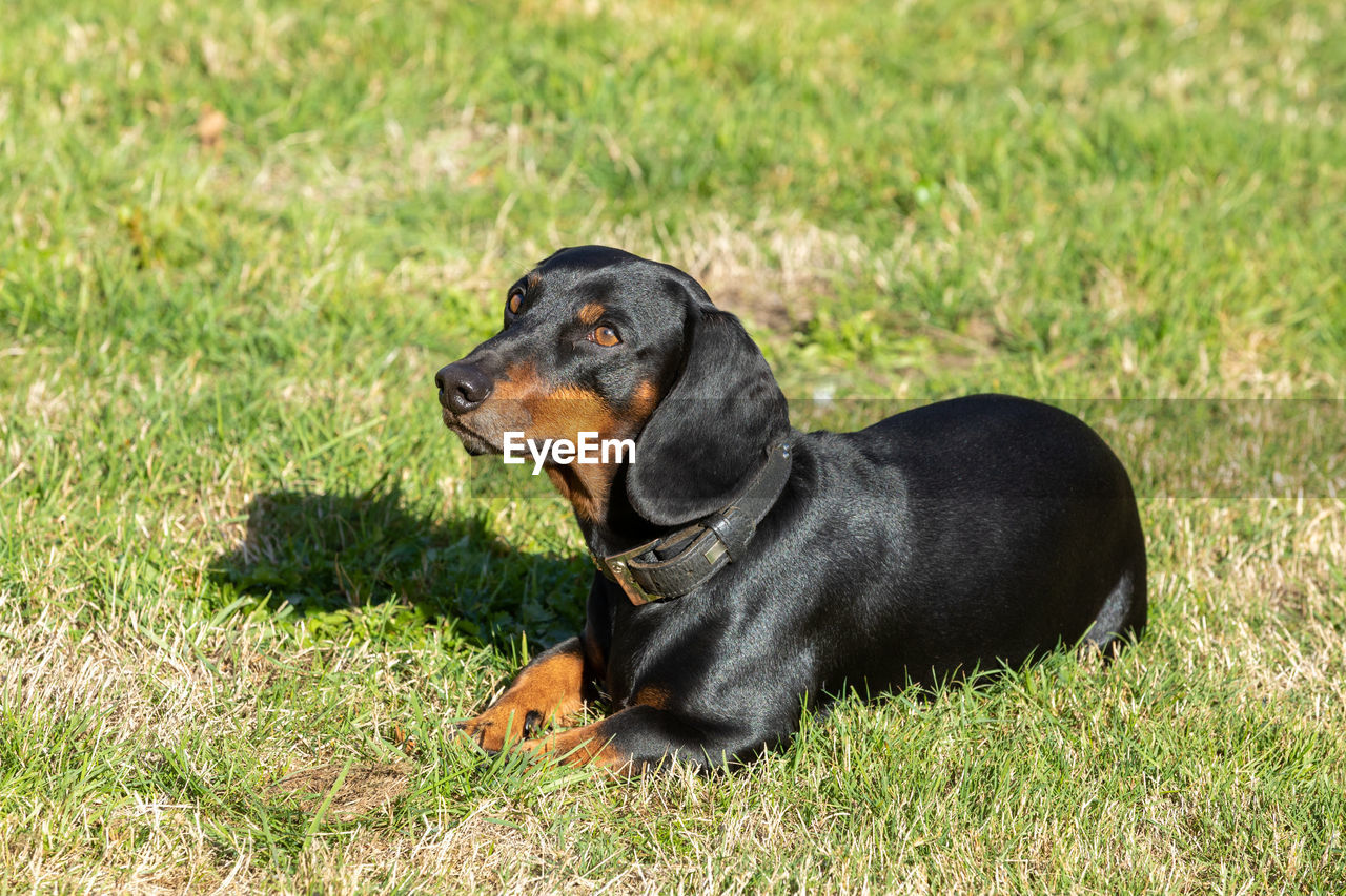 one animal, animal themes, animal, mammal, grass, dog, canine, pets, domestic animals, domestic, black color, plant, vertebrate, field, sitting, no people, relaxation, land, nature, day