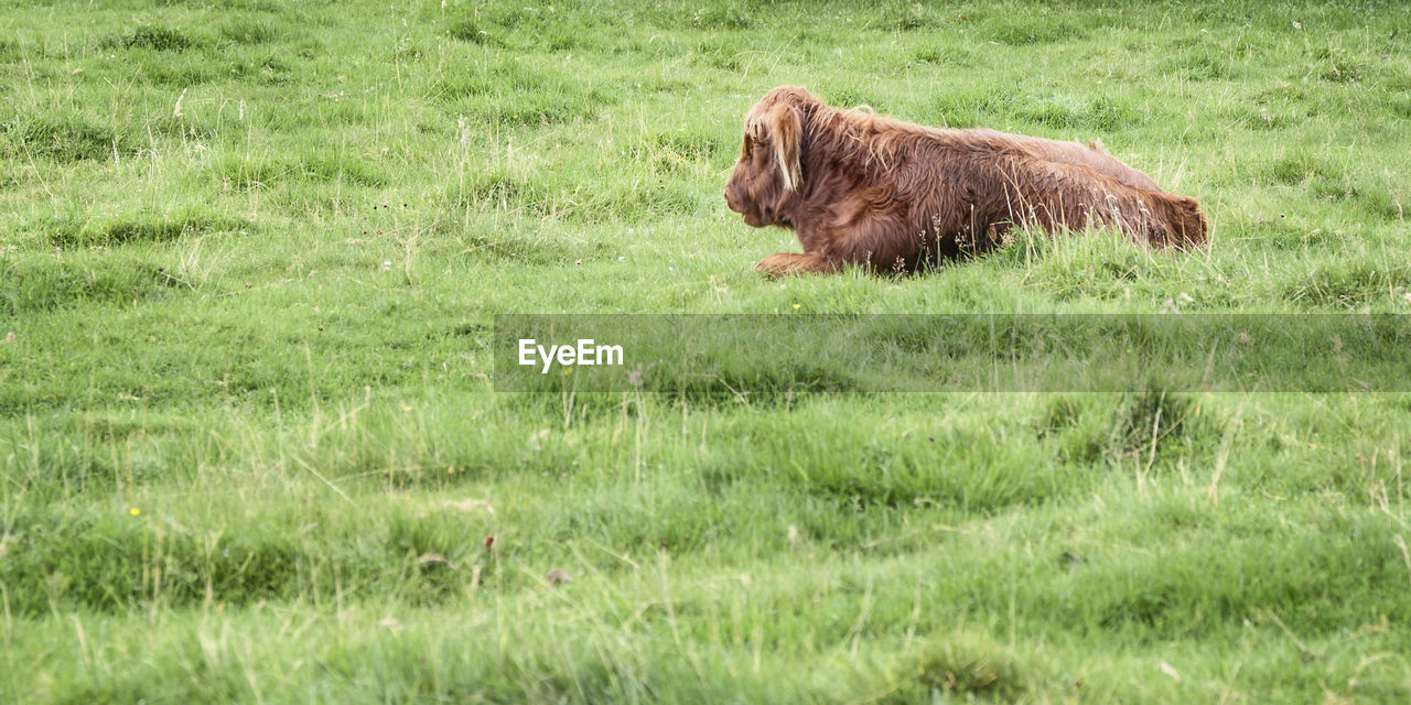 grass, animal, animal themes, one animal, plant, mammal, animal wildlife, animals in the wild, field, vertebrate, green color, nature, land, day, no people, domestic animals, side view, outdoors, pets, brown