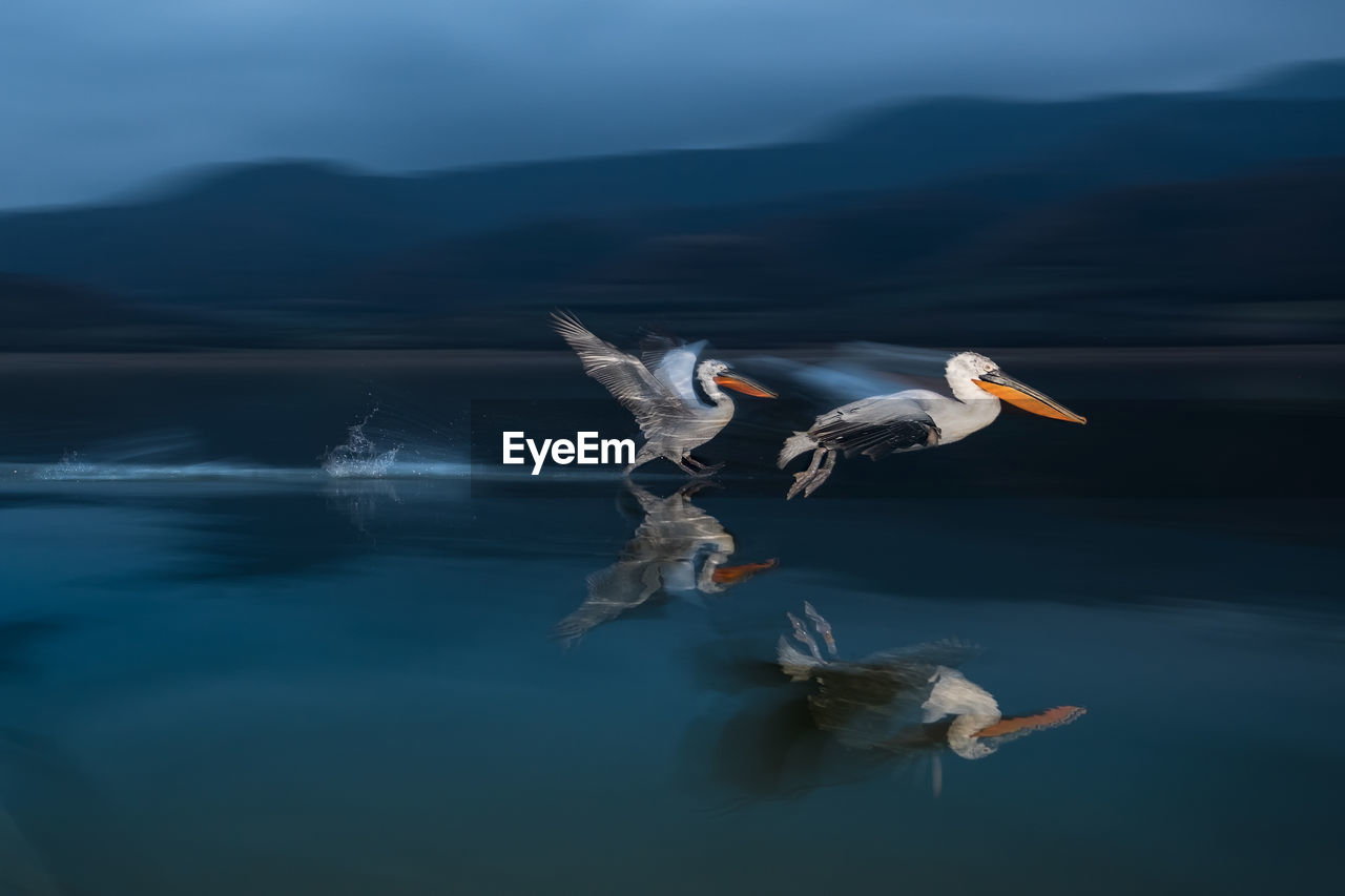 Pelicans Flying Over Lake
