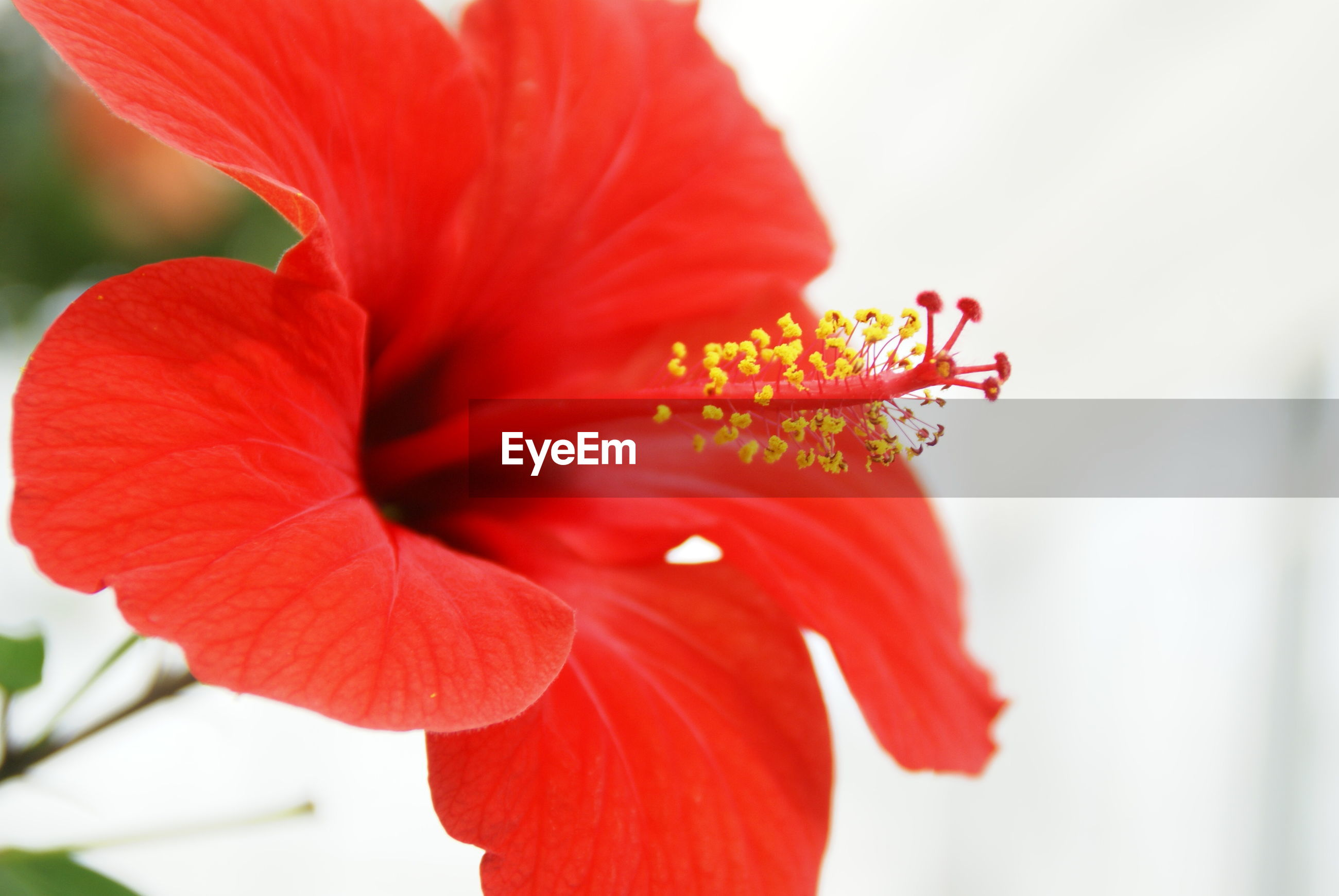 CLOSE-UP OF RED HIBISCUS FLOWER BLOOMING