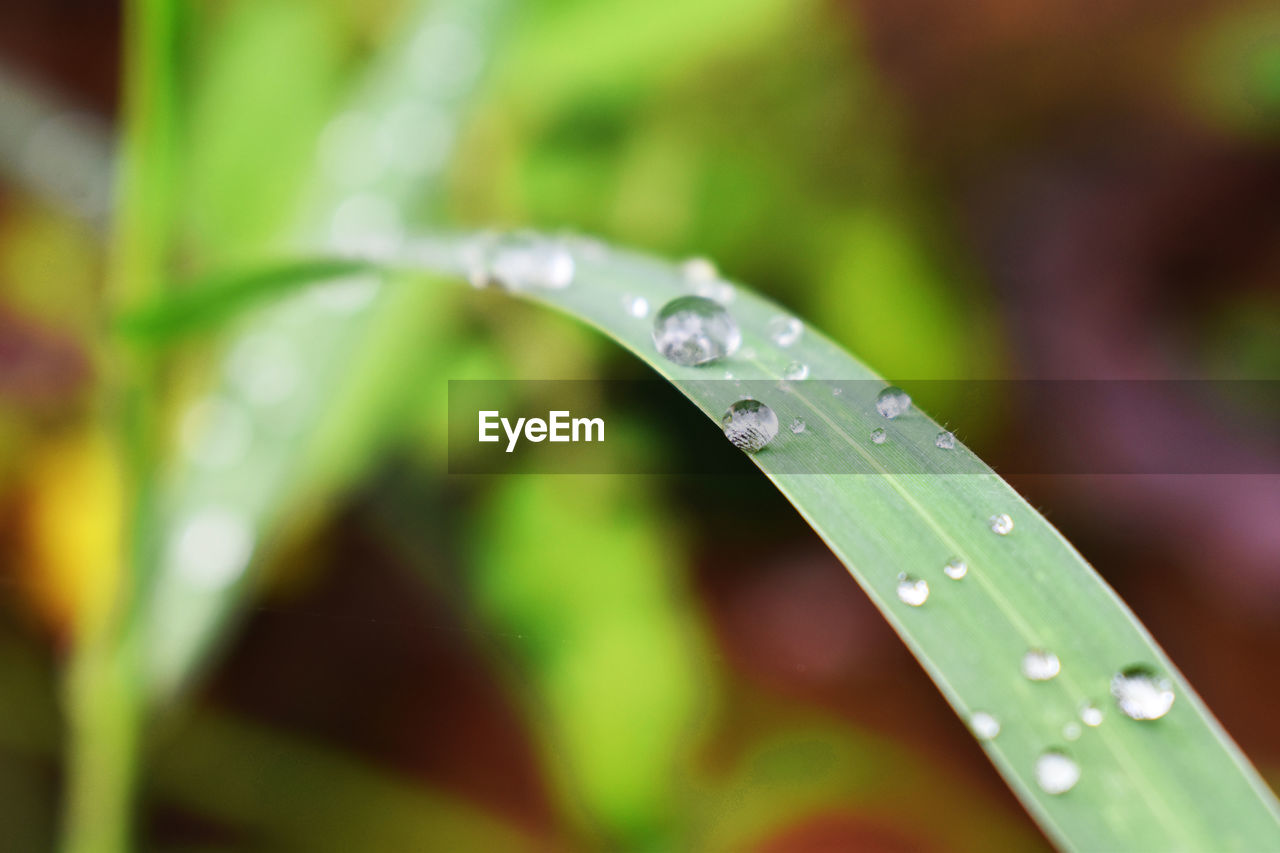 drop, water, wet, green color, selective focus, plant, blade of grass, leaf, beauty in nature, close-up, plant part, purity, nature, freshness, no people, day, dew, grass, rain, raindrop, outdoors, rainy season