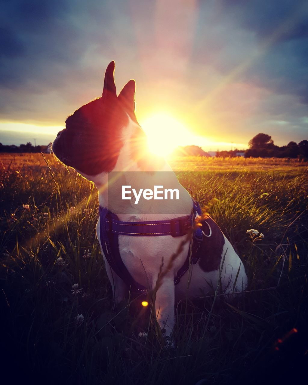 pets, field, domestic animals, sky, domestic, one animal, land, mammal, animal themes, sunset, animal, cloud - sky, grass, canine, dog, lens flare, vertebrate, nature, plant, sunlight, sun, hand, brightly lit