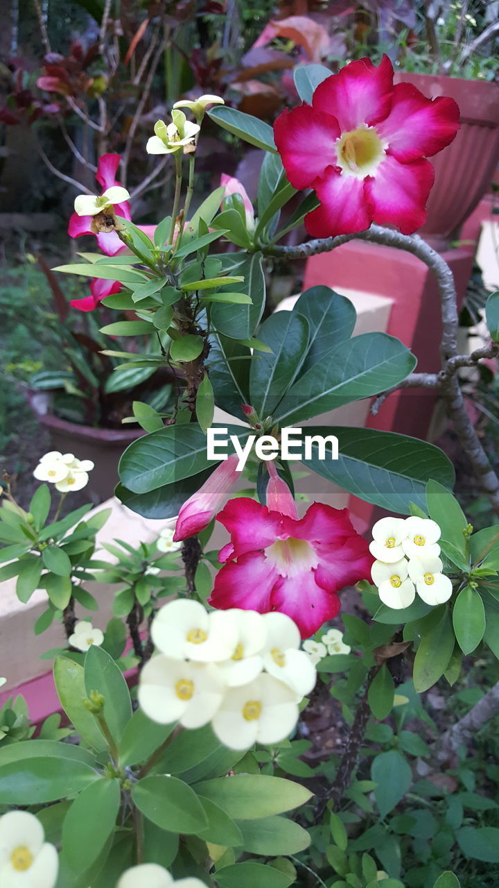 flower, petal, beauty in nature, freshness, fragility, growth, nature, flower head, plant, leaf, no people, outdoors, day, pink color, blooming, springtime, frangipani, close-up, periwinkle