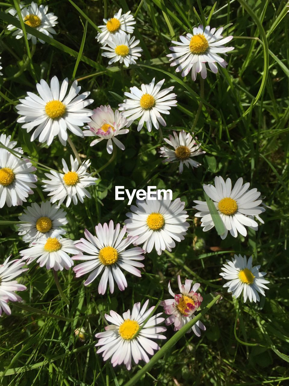 flower, petal, nature, fragility, beauty in nature, freshness, growth, flower head, plant, daisy, white color, blooming, day, high angle view, no people, outdoors, field, grass, backgrounds, close-up