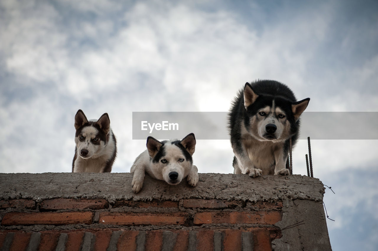 Low Angle Portrait Of Dogs On Brick Wall Against Cloudy Sky