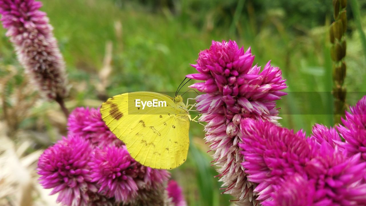 flower, growth, nature, insect, fragility, beauty in nature, purple, petal, plant, flower head, butterfly - insect, yellow, freshness, pink color, close-up, outdoors, day, no people, blooming, pollination, focus on foreground, animals in the wild, animal themes, butterfly, one animal, thistle