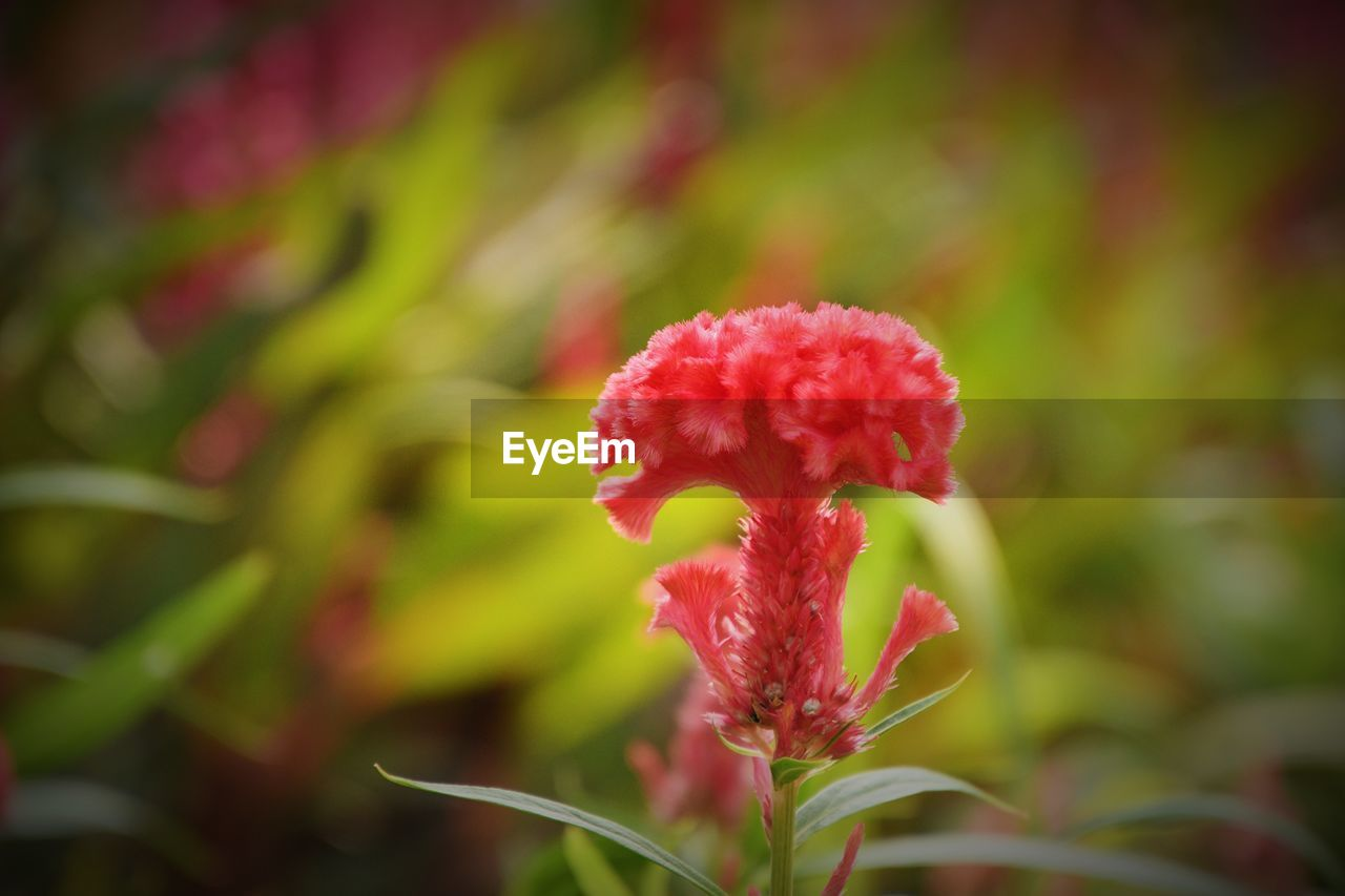 growth, plant, beauty in nature, flowering plant, flower, close-up, freshness, red, vulnerability, fragility, no people, day, focus on foreground, petal, nature, inflorescence, selective focus, flower head, pink color, outdoors, sepal