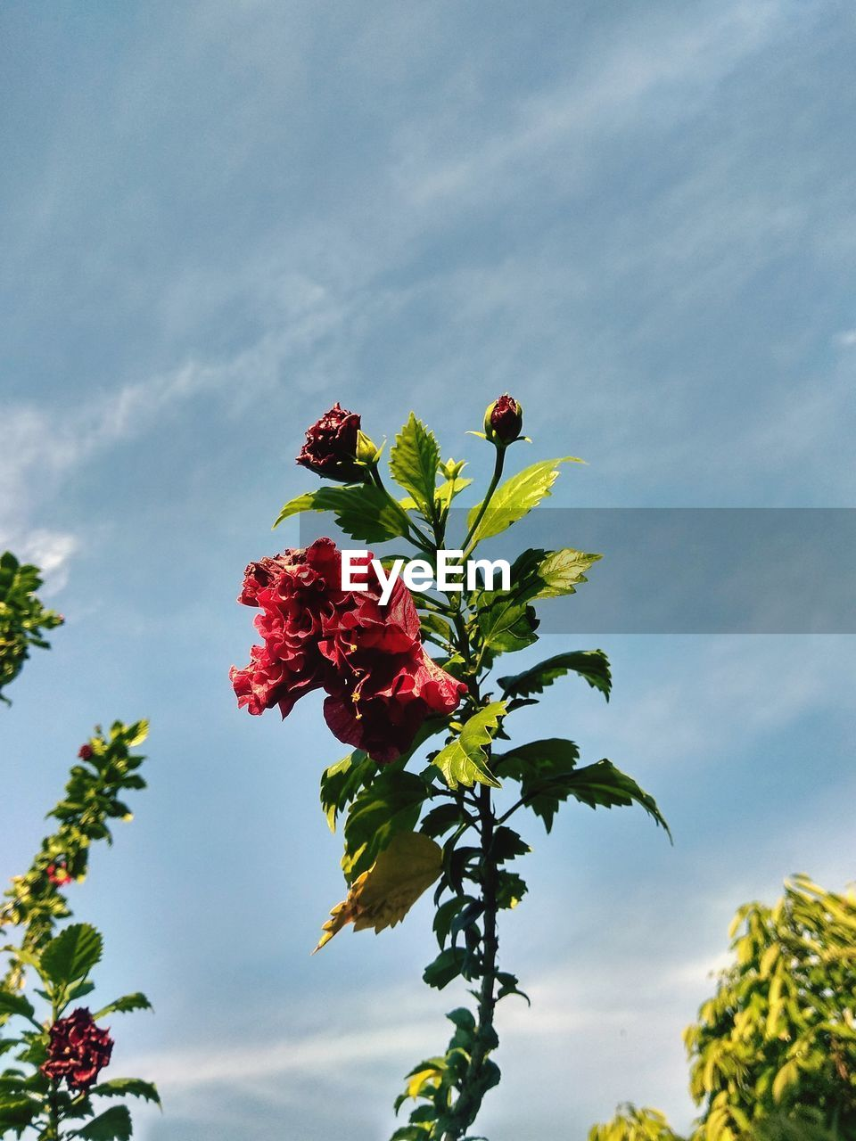 flower, flowering plant, plant, beauty in nature, vulnerability, fragility, freshness, growth, sky, low angle view, petal, red, nature, cloud - sky, flower head, close-up, day, inflorescence, no people, plant part, outdoors, bunch of flowers, flower arrangement