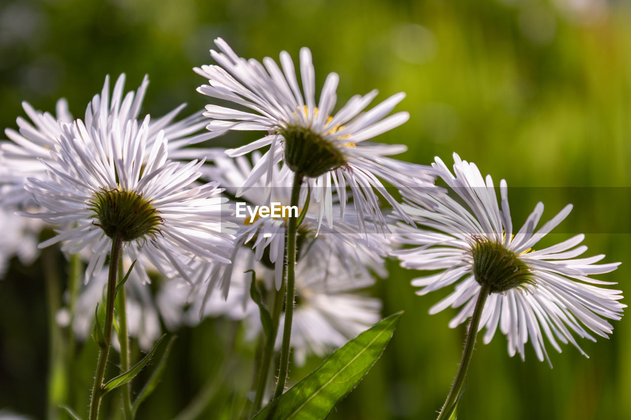 flower, flowering plant, plant, fragility, vulnerability, freshness, beauty in nature, growth, flower head, petal, inflorescence, close-up, white color, focus on foreground, selective focus, nature, day, no people, pollen, outdoors, purple
