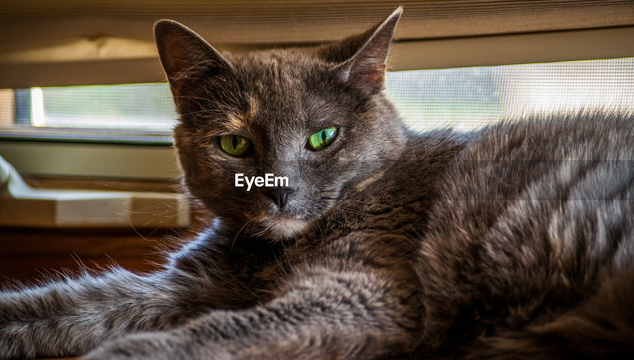 domestic cat, mammal, cat, animal themes, animal, domestic, pets, one animal, domestic animals, feline, indoors, portrait, relaxation, vertebrate, looking at camera, no people, close-up, home interior, resting, lying down, whisker, animal eye
