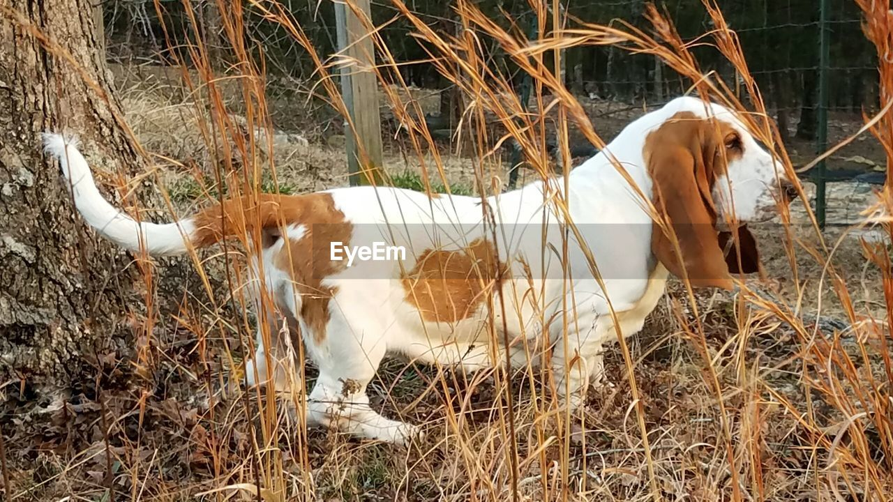 domestic animals, mammal, animal themes, field, grass, no people, pets, outdoors, day, one animal, standing, nature, livestock, cow, dog