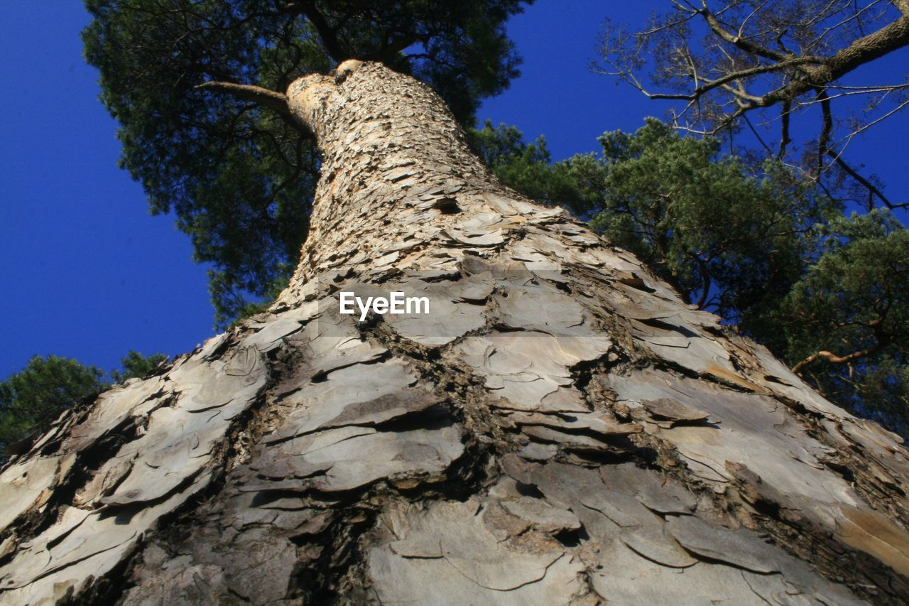 tree, tree trunk, low angle view, nature, no people, branch, day, bark, outdoors, blue, growth, sky, close-up, high