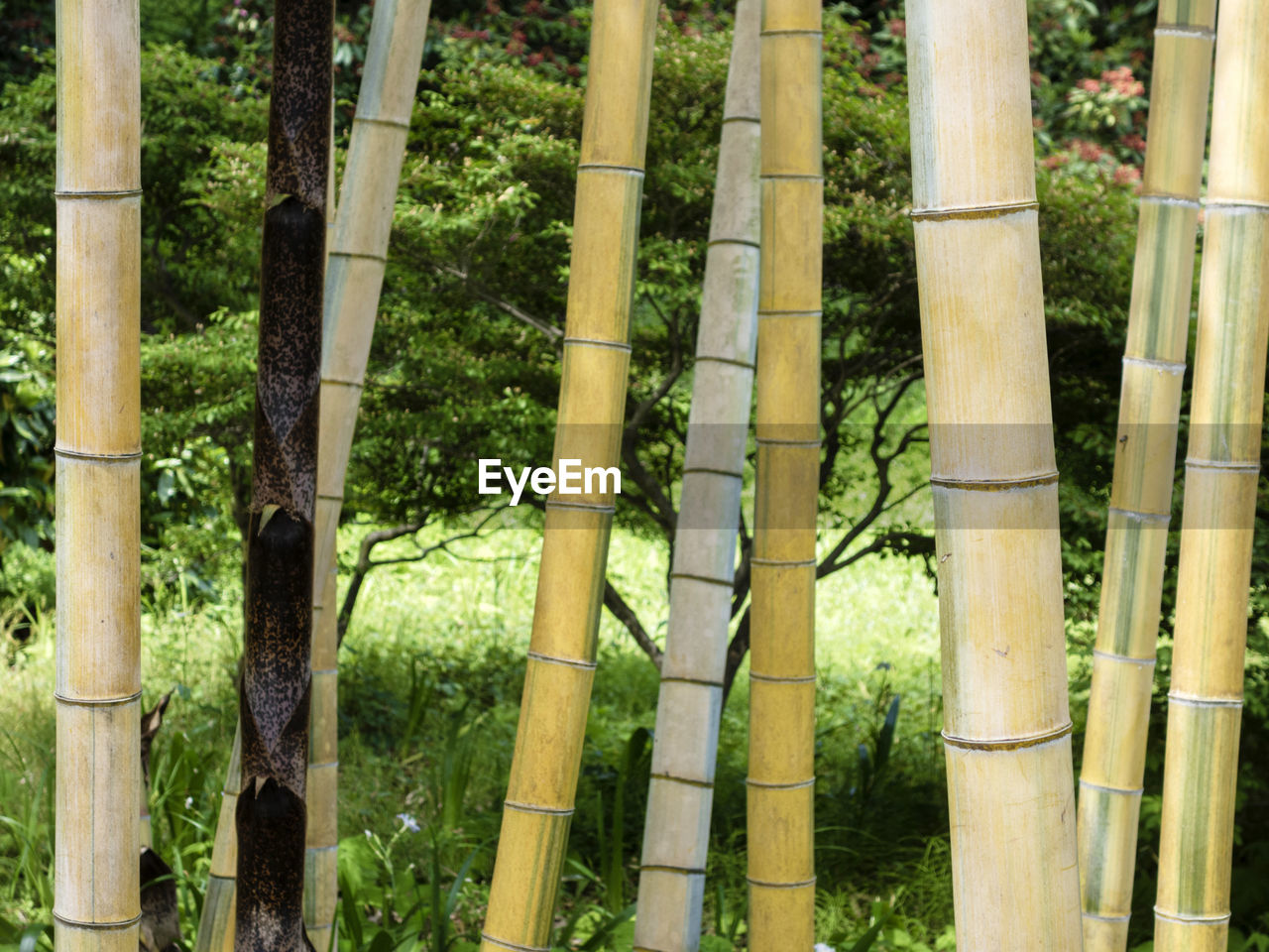 tree trunk, forest, no people, outdoors, nature, day, tree, bamboo - plant, bamboo grove, growth, plant part