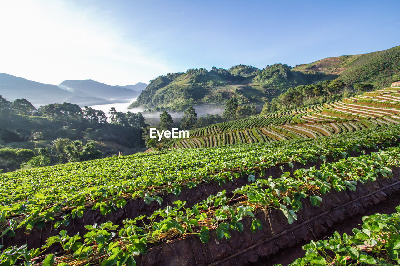growth, agriculture, plant, scenics - nature, beauty in nature, landscape, green color, field, sky, tranquil scene, mountain, land, farm, environment, crop, rural scene, tranquility, nature, no people, terraced field, mountain range, plantation, outdoors, winemaking, tea crop