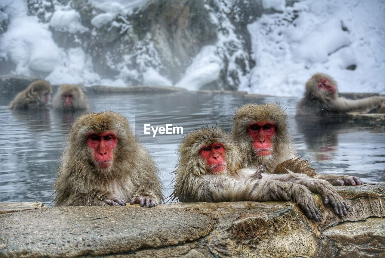 animals in the wild, animal wildlife, water, monkey, animal themes, animal, group of animals, primate, mammal, japanese macaque, vertebrate, rock, cold temperature, solid, rock - object, day, winter, nature, hot spring, no people, outdoors, animal head, animal family