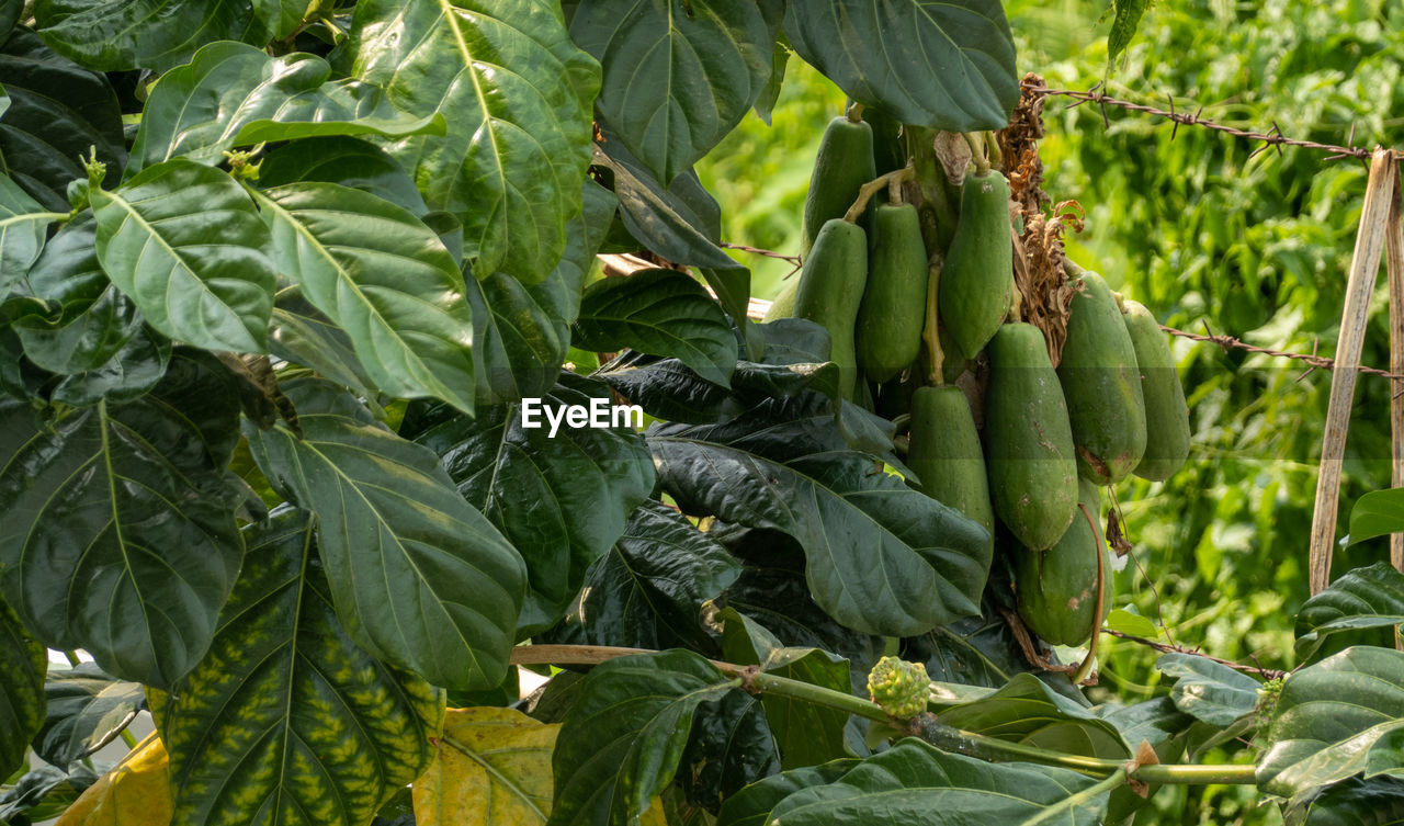 GREEN FRUITS GROWING IN FARM