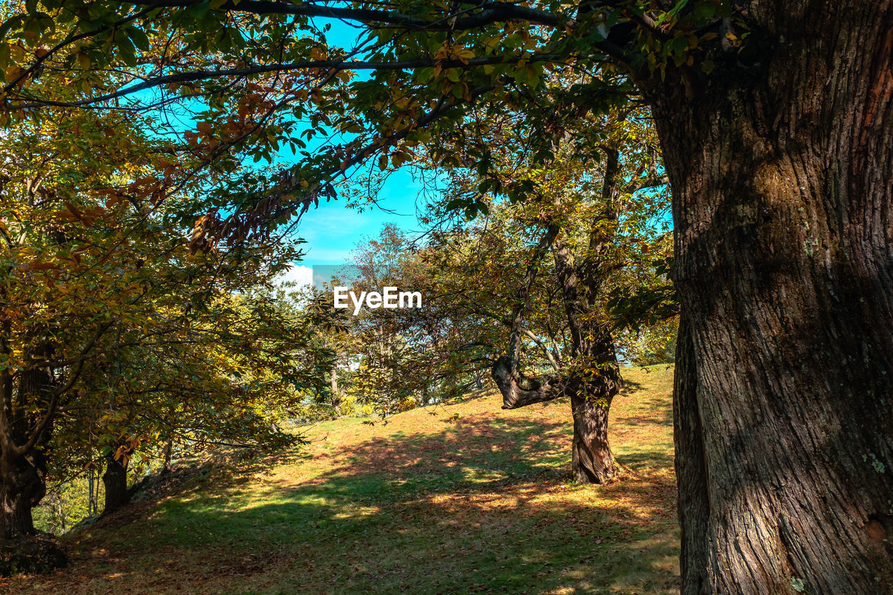 tree, autumn, nature, tranquility, change, no people, beauty in nature, day, scenics, tranquil scene, growth, tree trunk, outdoors, leaf, sunlight, branch, forest, landscape, grass, sky