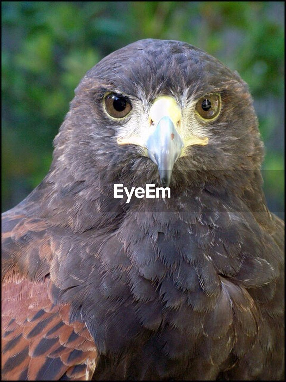 bird of prey, bird, animals in the wild, animal themes, animal wildlife, close-up, looking at camera, focus on foreground, one animal, beak, day, portrait, outdoors, no people, nature