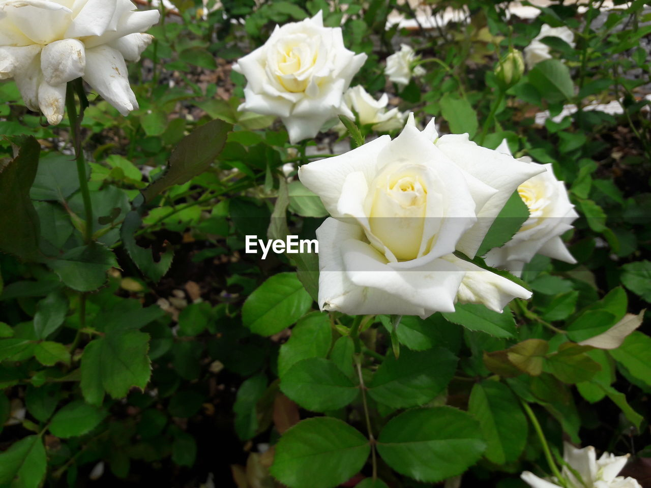 flower, petal, white color, rose - flower, nature, fragility, growth, flower head, plant, beauty in nature, blooming, freshness, leaf, close-up, no people, outdoors, day