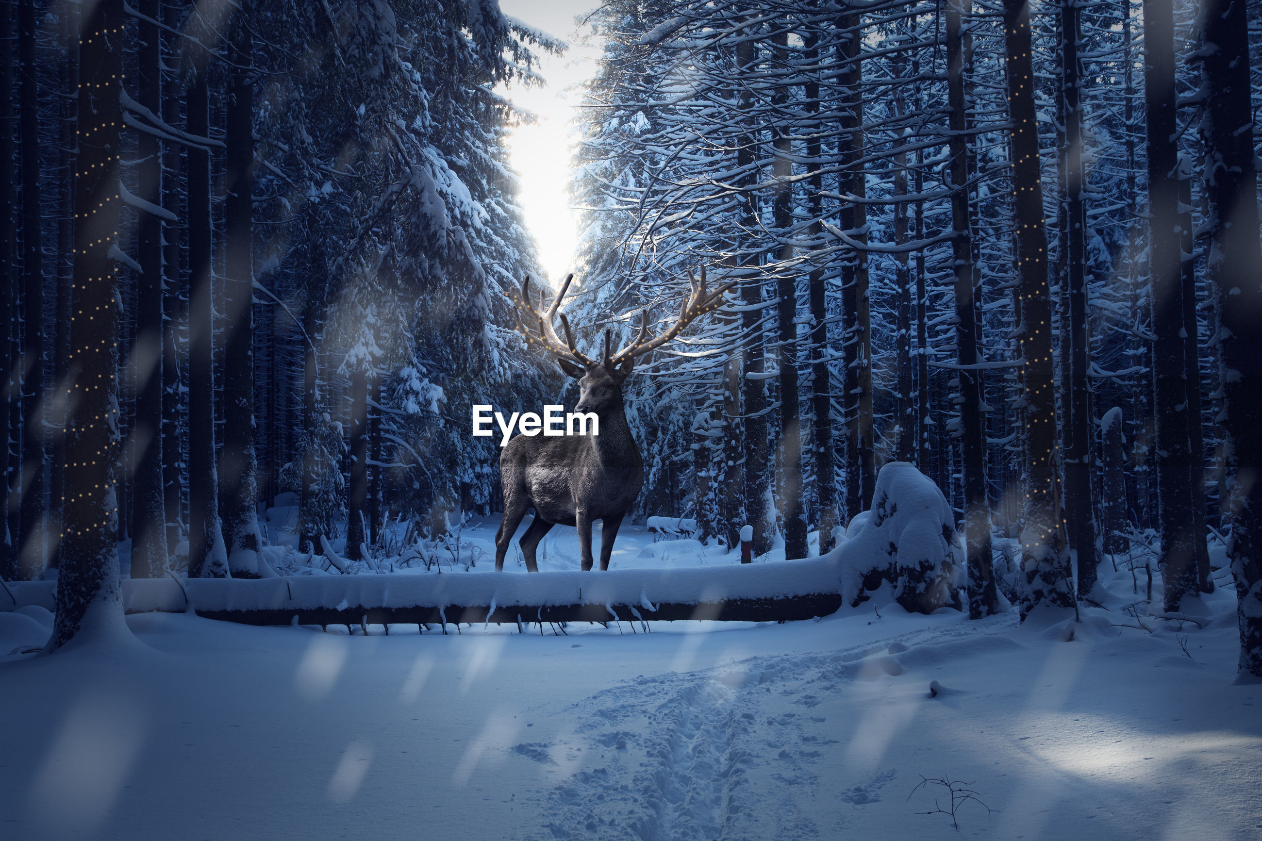 VIEW OF DEER IN SNOW COVERED FIELD