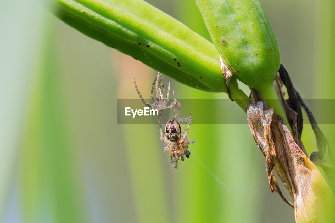 green color, close-up, focus on foreground, day, animal wildlife, plant, no people, insect, animals in the wild, invertebrate, nature, animal, animal themes, growth, outdoors, beauty in nature, one animal, selective focus, plant part, food and drink