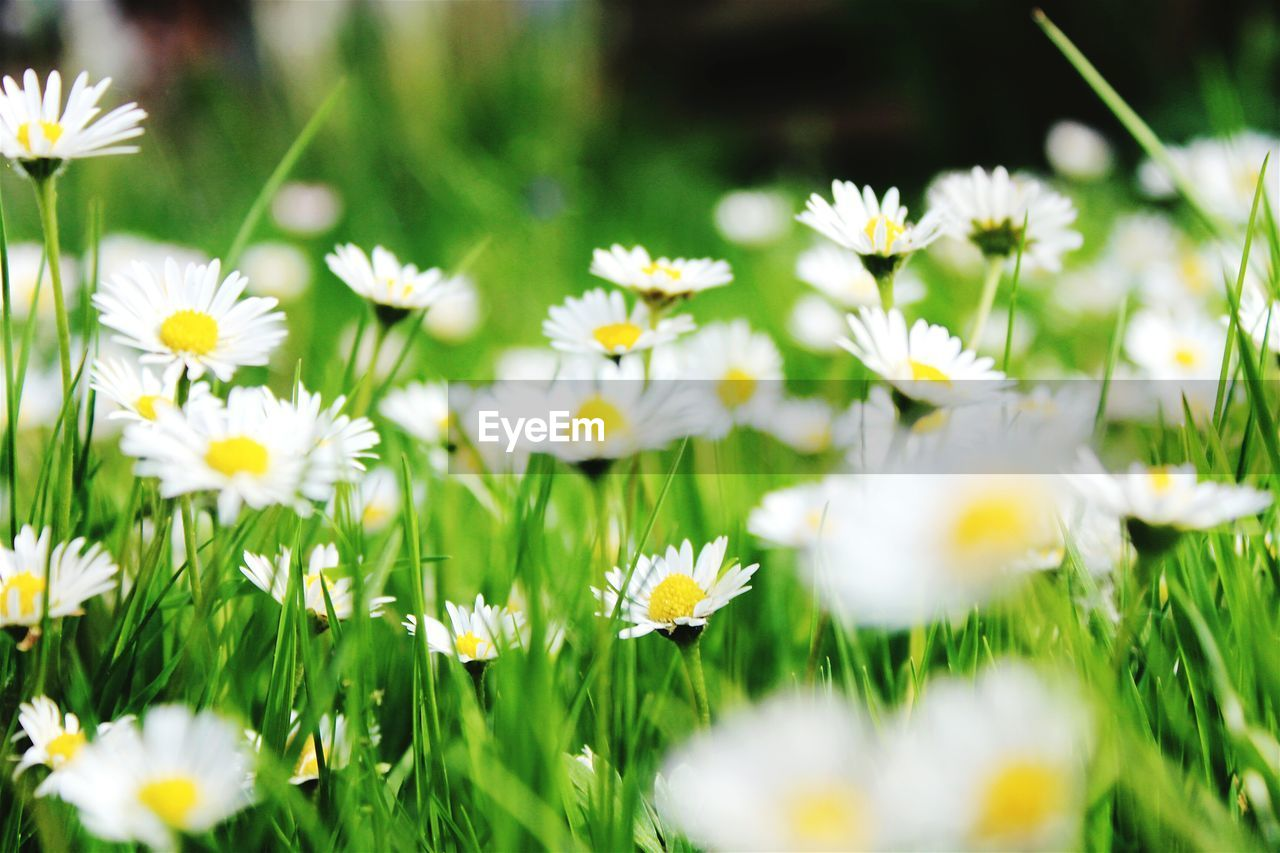 flower, nature, white color, growth, beauty in nature, freshness, fragility, petal, plant, selective focus, blooming, no people, grass, day, flower head, yellow, close-up, outdoors, crocus