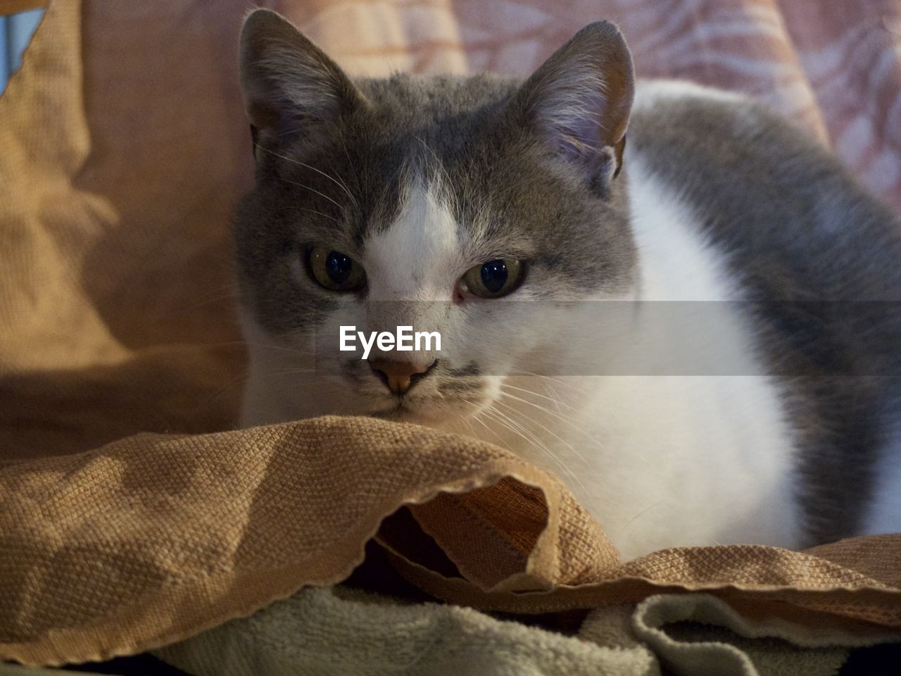 feline, pets, domestic cat, cat, domestic, animal themes, mammal, one animal, domestic animals, animal, vertebrate, indoors, whisker, close-up, no people, relaxation, textile, looking at camera, focus on foreground, portrait, animal head