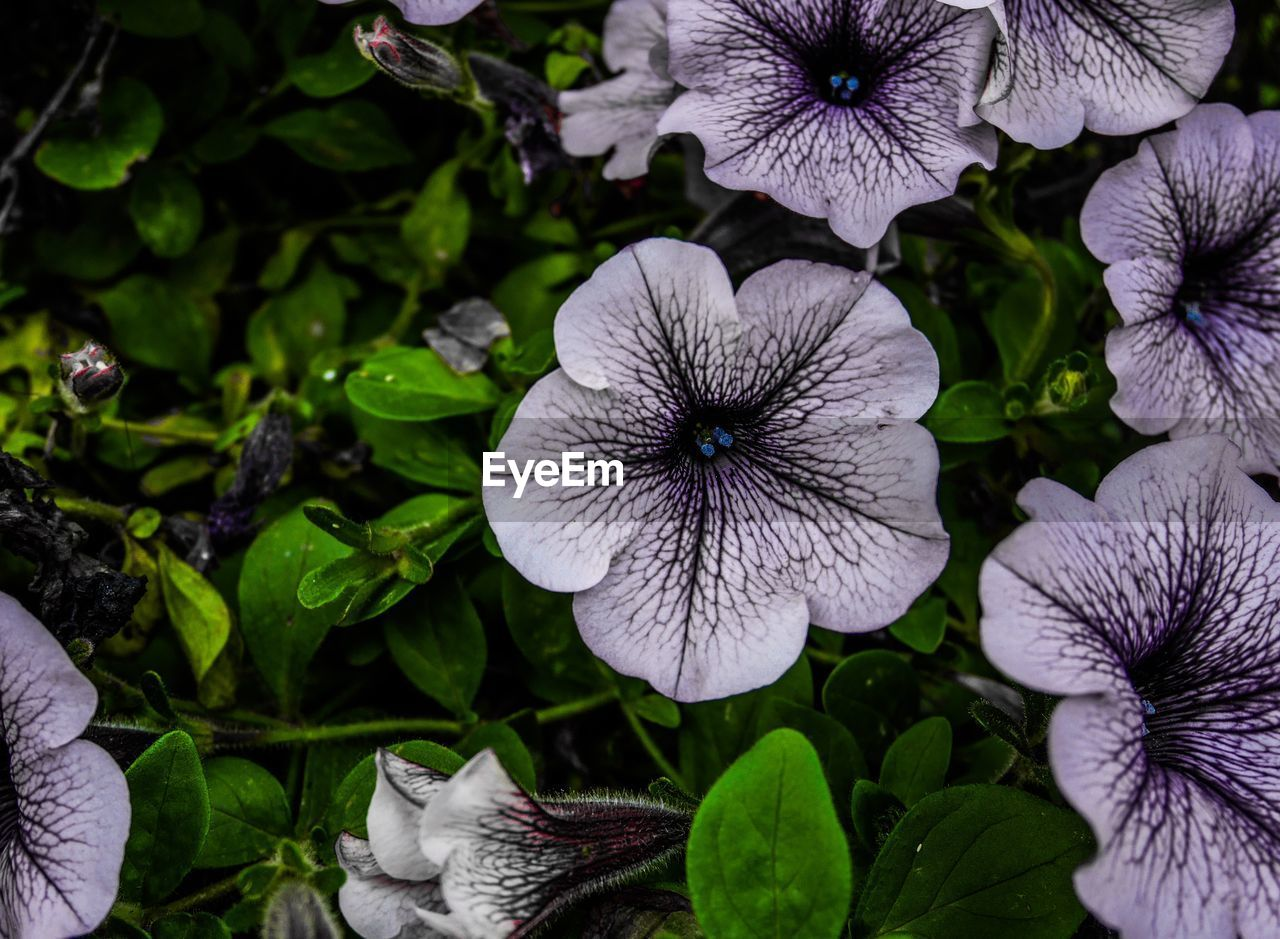 flower, plant, growth, flowering plant, freshness, beauty in nature, fragility, close-up, petal, vulnerability, leaf, plant part, flower head, inflorescence, nature, petunia, no people, purple, green color, outdoors, softness