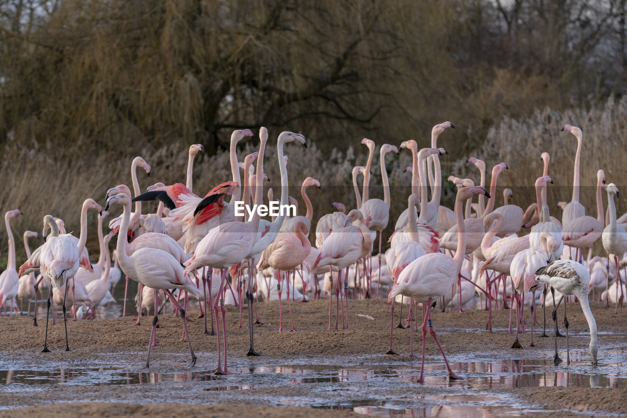 group of animals, animals in the wild, animal themes, large group of animals, flamingo, animal, animal wildlife, water, bird, vertebrate, nature, no people, standing, lake, day, land, beauty in nature, wading, zoology, flock of birds, drinking, freshwater bird