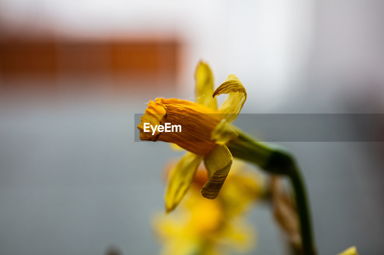flower, yellow, flowering plant, fragility, close-up, focus on foreground, freshness, vulnerability, beauty in nature, petal, flower head, inflorescence, growth, plant, selective focus, no people, nature, day, outdoors, pollen, iris - plant