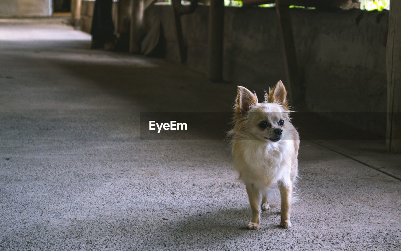 Chihuahua Looking Away While Standing On Footpath