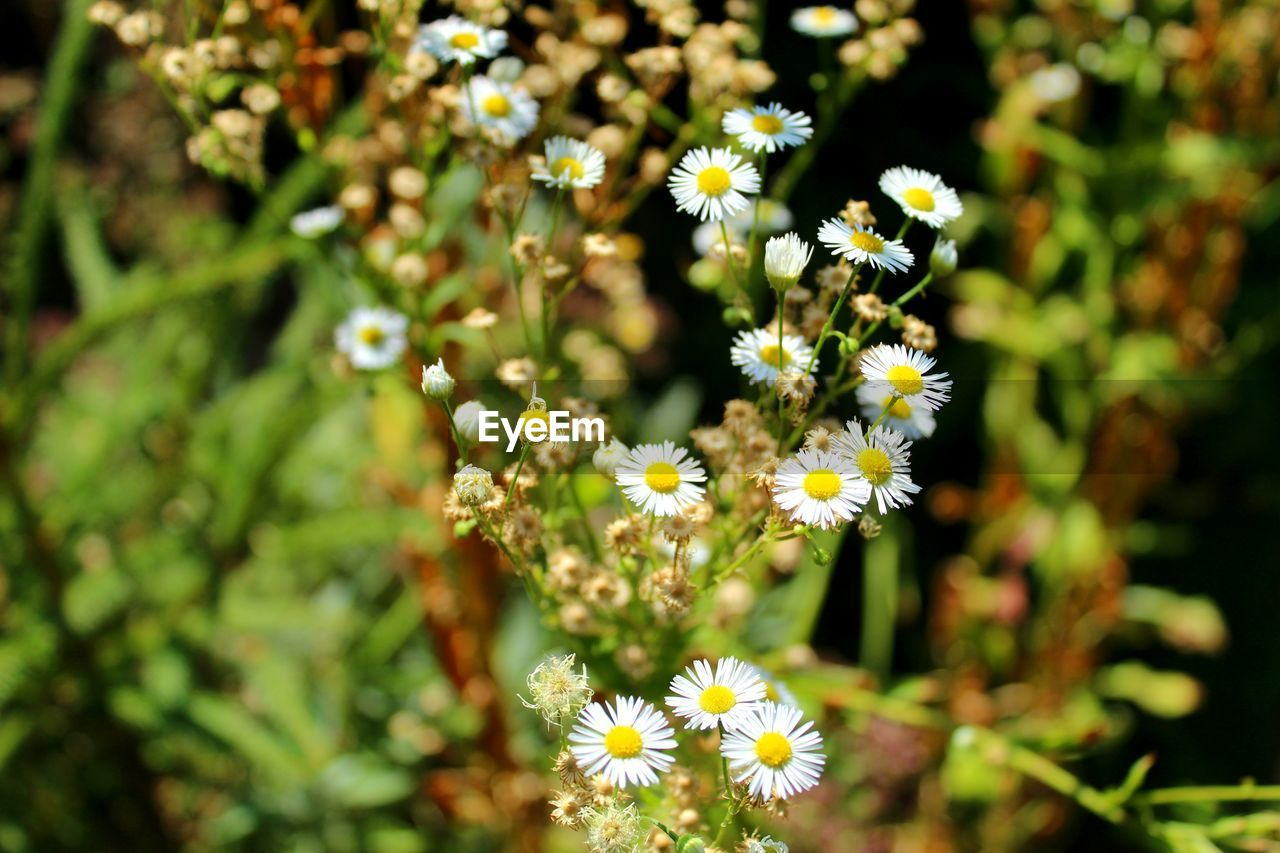 flowering plant, flower, freshness, plant, fragility, vulnerability, beauty in nature, growth, petal, close-up, flower head, inflorescence, yellow, day, selective focus, nature, white color, no people, focus on foreground, outdoors, pollen